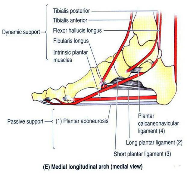 Alfa img - Show... Foot Arch Muscles